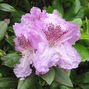 (17/04/2018) Rhododendron 'Lavendula' added by Shoot)