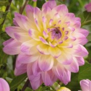 (17/04/2018) Dahlia 'Sagitta' added by Shoot)