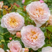 (18/04/2018) Rosa 'Emily Bronte' added by Shoot)