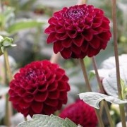 (24/04/2018) Dahlia 'Natal' added by Shoot)