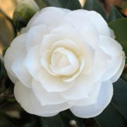 (25/04/2018) Camellia japonica 'Snow White' added by Shoot)