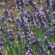 (25/04/2018) Lavandula x intermedia 'Phenomenal' added by Shoot)