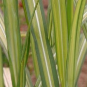 (25/04/2018) Miscanthus x giganteus 'Jubilar' added by Shoot)