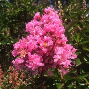 (26/04/2018) Lagerstroemia 'Sioux' added by Shoot)