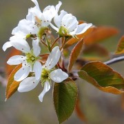 (04/05/2018) Amelanchier alnifolia 'Forestburg' added by Shoot)