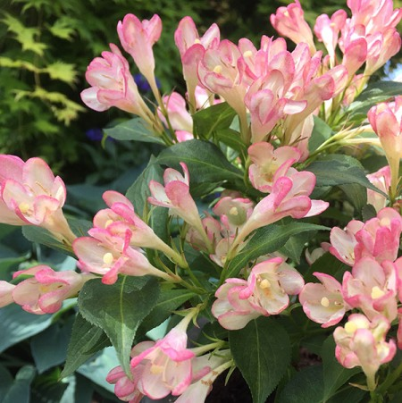 Weigela 'All Summer Peach'