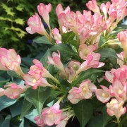(17/05/2018) Weigela 'All Summer Peach' added by Shoot)