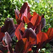 (15/05/2018) Bergenia purpurascens 'Irish Crimson' added by Shoot)