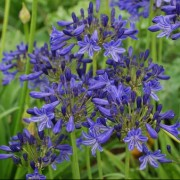 (21/05/2018) Agapanthus 'Sandringham' added by Shoot)