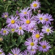(22/05/2018) Aster amellus 'Framfieldii'  added by Shoot)