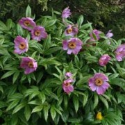 (25/05/2018) Paeonia veitchii var. woodwardii added by Shoot)