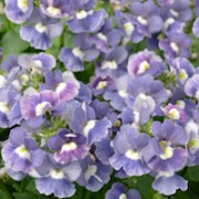 (25/05/2018) Nemesia 'Sunpeddle Blue Rose' (Sunpeddle Series) added by Shoot)