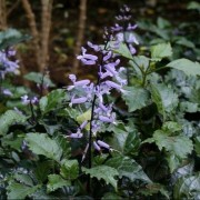 (12/06/2018) Plectranthus 'Mona Lavender' added by Shoot)