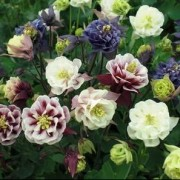 (12/06/2018) Aquilegia Winky Double Mix added by Shoot)