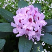 (13/06/2018) Rhododendron 'Humboldt' added by Shoot)