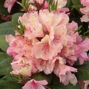 (13/06/2018) Rhododendron 'Hachmann's Brasilia' added by Shoot)