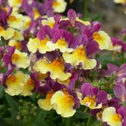 (19/06/2018) Nemesia 'Aroma Rhubarb and Custard' (Aroma Series) added by Shoot)