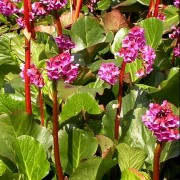 (20/06/2018) Bergenia 'Admiral' added by Shoot)