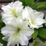 (20/06/2018) Rhododendron 'Dorothy Hayden' added by Shoot)