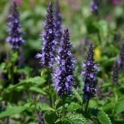 (22/06/2018) Agastache 'Astello Indigo' added by Shoot)