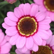 (03/07/2018) Argyranthemum 'Grandaisy Pink Halo' added by Shoot)