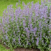 (05/07/2018) Nepeta 'Veluws Blauwtje' added by Shoot)