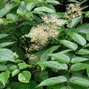 (05/07/2018) Aralia cachemirica added by Shoot)