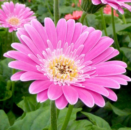 Gerbera 'Garvinea Sweet Surprise' (Garvinea Sweet Series)