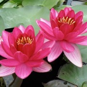 (09/07/2018) Nymphaea 'Perry's Baby Red' added by Shoot)