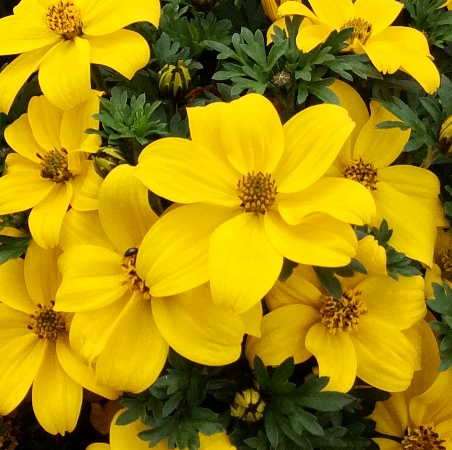 Bidens ferulifolia 'Golden Glory'