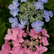 (11/07/2018) Hydrangea macrophylla 'Let's Dance Starlight' added by Shoot)
