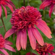 (21/07/2018) Echinacea 'Double Scoop Raspberry' (Double Scoop Series) added by Shoot)