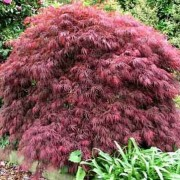 (30/07/2018) Acer palmatum 'Crimson Princess' added by Shoot)