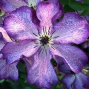 (30/07/2018) Clematis 'Super Nova' added by Shoot)
