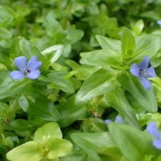 (06/08/2018) Bacopa caroliniana  added by Shoot)