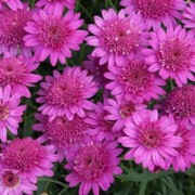 (07/08/2018) Argyranthemum 'Madeira Crested Hot Pink' (Madeira Series) added by Shoot)