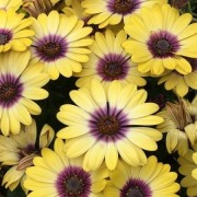 (11/08/2018) Osteospermum 'Blue Eyed Beauty' added by Shoot)