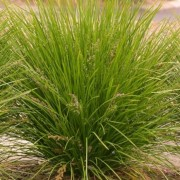 (15/08/2018) Lomandra 'Lime Tuff' added by Shoot)
