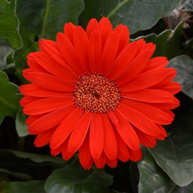 Gerbera 'Garvinea Sweet Love' (Garvinea Sweet Series)