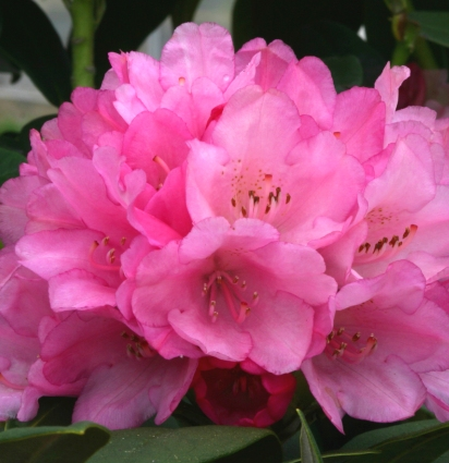 Rhododendron 'Queen Alice'