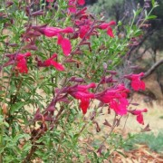 (23/08/2018) Salvia greggii 'Flame' added by Shoot)
