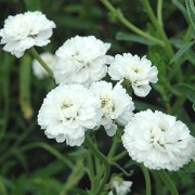 (23/08/2018) Achillea ptarmica 'Noblessa' added by Shoot)