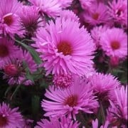 (23/08/2018) Symphyotrichum novae-angliae 'Quinton Menzies' added by Shoot)