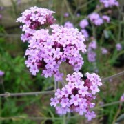 (24/08/2018) Verbena bonariensis 'Little One' added by Shoot)