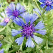 (24/08/2018) Centaurea 'Blue Carpet' added by Shoot)
