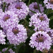 (24/08/2018) Verbena rigida f. lilacina 'Polaris' added by Shoot)