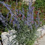 (24/08/2018) Perovskia atriplicifolia 'Blue Shadow' added by Shoot)
