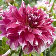 (31/08/2018) Dahlia 'Frost Nip' added by Shoot)