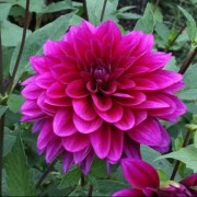 (31/08/2018) Dahlia 'Le Baron' added by Shoot)