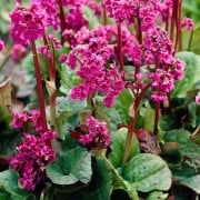 (06/09/2018) Bergenia cordifolia 'Rose' added by Shoot)